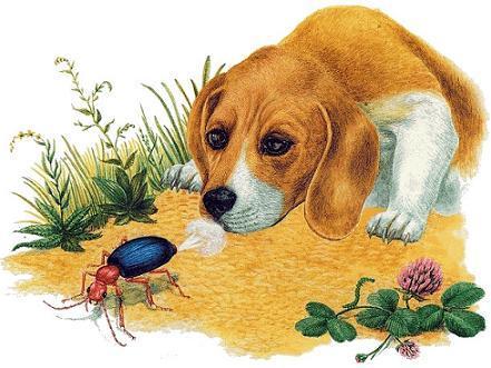пес и жук-бомбардир