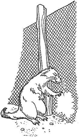 зверёк прогрыз дыру в заборе