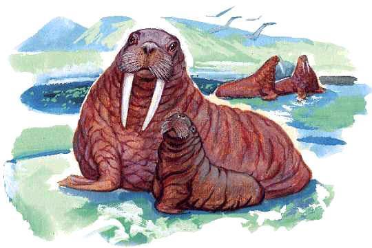 Все о моржах и рисунок