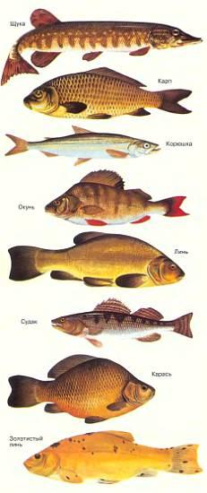 речная рыба фото и название